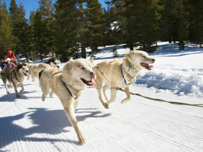 a team of dogs pulling a sled through the snow