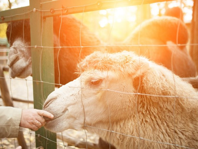 A human is feeding a camel in a zoo tthrough a cell